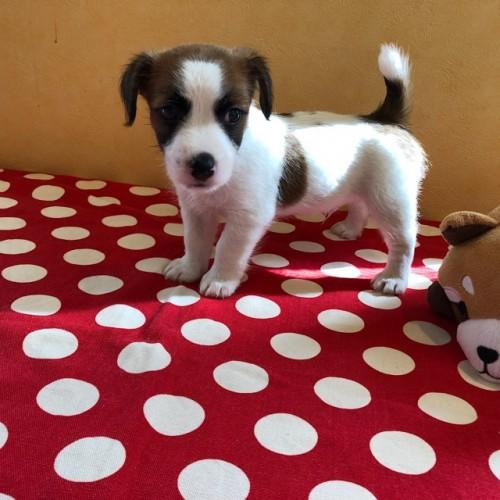 ジャックラッセルテリアの子犬(ID:1241311223)の2枚目の写真/更新日:2019-01-07