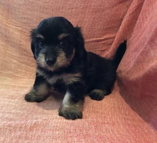 ミックスの子犬(ID:1241311227)の1枚目の写真/更新日:2021-08-23