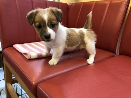 ジャックラッセルテリアの子犬(ID:1241311228)の3枚目の写真/更新日:2019-01-07