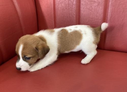 ジャックラッセルテリアの子犬(ID:1241311229)の2枚目の写真/更新日:2017-03-28