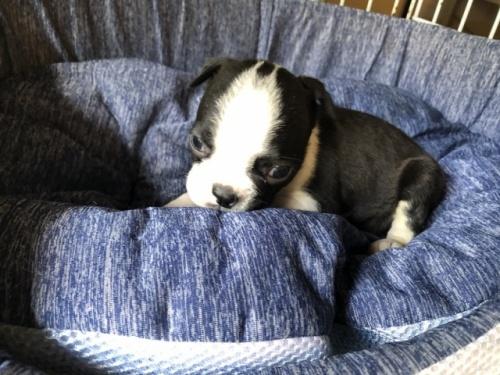 ボストンテリアの子犬(ID:1241311233)の3枚目の写真/更新日:2017-04-10