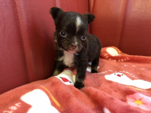 チワワ(ロング)の子犬(ID:1241311234)の1枚目の写真/更新日:2021-02-05