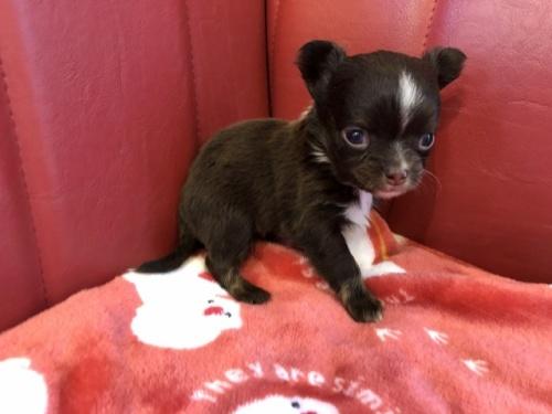 チワワ(ロング)の子犬(ID:1241311234)の2枚目の写真/更新日:2017-03-28