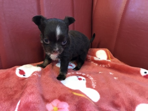 チワワ(ロング)の子犬(ID:1241311234)の3枚目の写真/更新日:2017-03-28