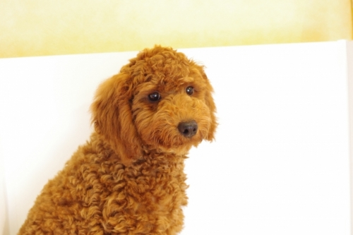 トイプードルの子犬(ID:1241311235)の1枚目の写真/更新日:2017-04-24