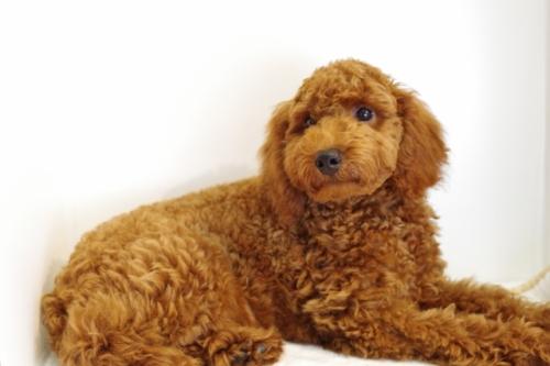 トイプードルの子犬(ID:1241311235)の2枚目の写真/更新日:2017-04-24