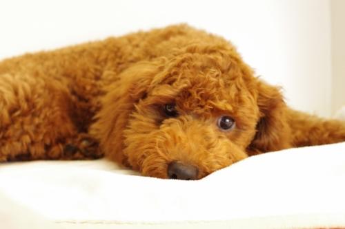 トイプードルの子犬(ID:1241311235)の3枚目の写真/更新日:2017-04-24