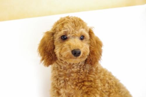 トイプードルの子犬(ID:1241311236)の1枚目の写真/更新日:2017-04-24