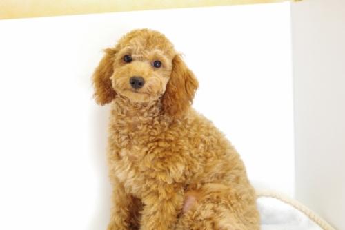 トイプードルの子犬(ID:1241311236)の2枚目の写真/更新日:2017-04-24