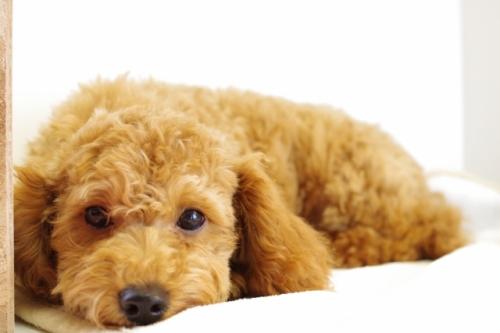 トイプードルの子犬(ID:1241311236)の3枚目の写真/更新日:2017-04-24