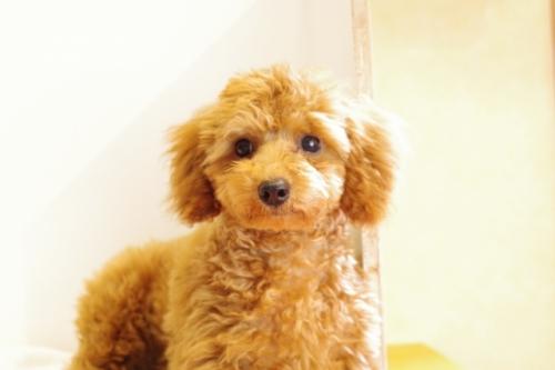 トイプードルの子犬(ID:1241311237)の2枚目の写真/更新日:2017-04-24