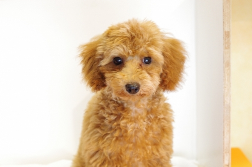トイプードルの子犬(ID:1241311237)の3枚目の写真/更新日:2017-04-24