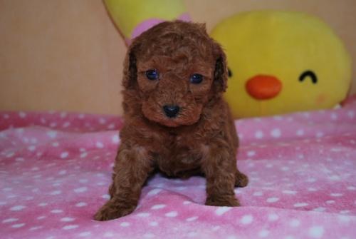 トイプードルの子犬(ID:1241311238)の1枚目の写真/更新日:2017-03-14