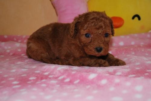 トイプードルの子犬(ID:1241311238)の2枚目の写真/更新日:2017-03-14