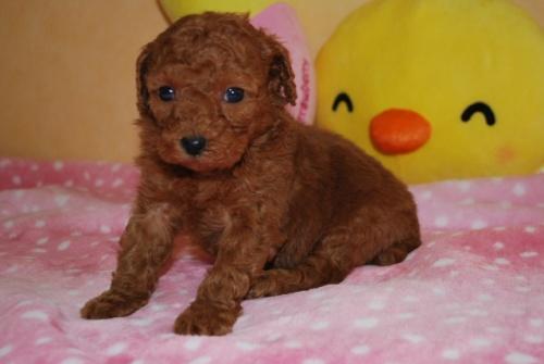トイプードルの子犬(ID:1241311238)の3枚目の写真/更新日:2017-03-14