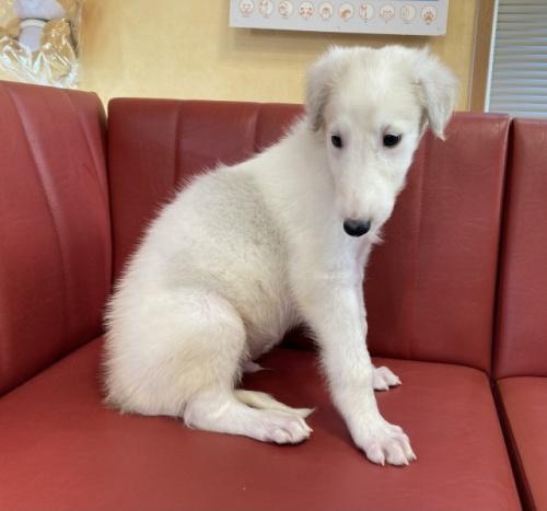 ボルゾイの子犬(ID:1241311239)の1枚目の写真/更新日:2017-04-14