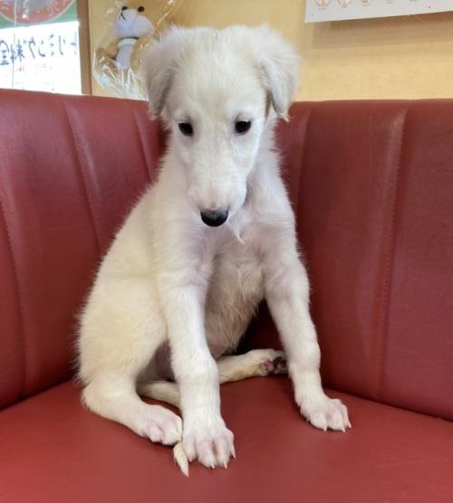 ボルゾイの子犬(ID:1241311239)の2枚目の写真/更新日:2021-08-29