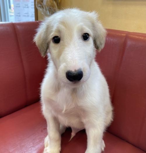 ボルゾイの子犬(ID:1241311240)の2枚目の写真/更新日:2021-08-29