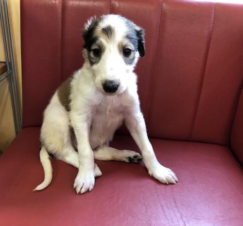 ボルゾイの子犬(ID:1241311241)の1枚目の写真/更新日:2017-04-04