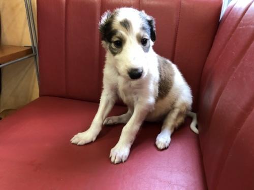 ボルゾイの子犬(ID:1241311241)の2枚目の写真/更新日:2017-05-06