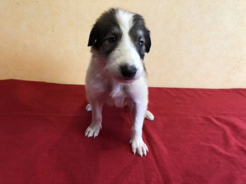 ボルゾイの子犬(ID:1241311242)の1枚目の写真/更新日:2017-03-28