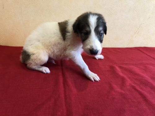 ボルゾイの子犬(ID:1241311242)の3枚目の写真/更新日:2017-03-28