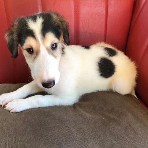 ボルゾイの子犬(ID:1241311244)の2枚目の写真/更新日:2017-05-29
