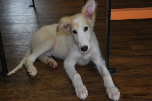 ボルゾイの子犬(ID:1241311245)の1枚目の写真/更新日:2017-04-28