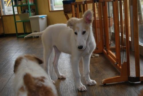 ボルゾイの子犬(ID:1241311245)の2枚目の写真/更新日:2017-05-15