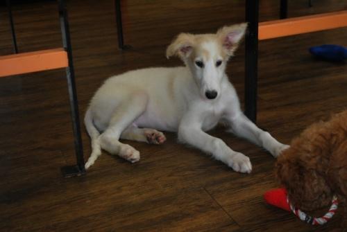 ボルゾイの子犬(ID:1241311245)の3枚目の写真/更新日:2017-04-28