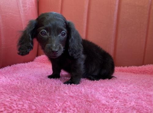 ミニチュアダックスフンド(ロング)の子犬(ID:1241311247)の2枚目の写真/更新日:2017-05-15