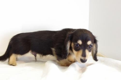 ミニチュアダックスフンド(ロング)の子犬(ID:1241311248)の3枚目の写真/更新日:2017-05-15