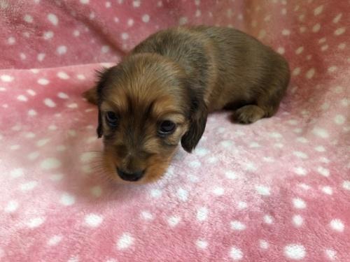 ミニチュアダックスフンド(ロング)の子犬(ID:1241311249)の3枚目の写真/更新日:2017-05-15