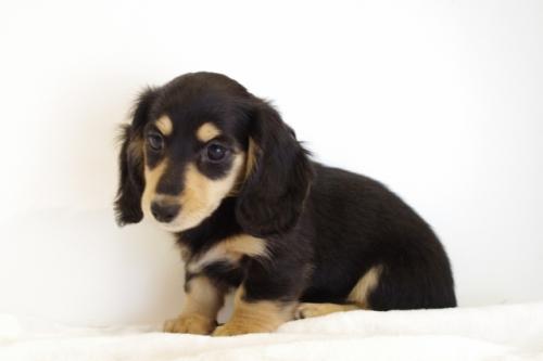 ミニチュアダックスフンド(ロング)の子犬(ID:1241311250)の1枚目の写真/更新日:2017-05-15