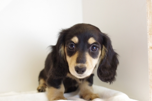 ミニチュアダックスフンド(ロング)の子犬(ID:1241311250)の3枚目の写真/更新日:2017-05-15