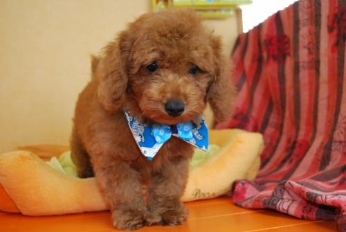 トイプードルの子犬(ID:1241311252)の1枚目の写真/更新日:2017-07-31