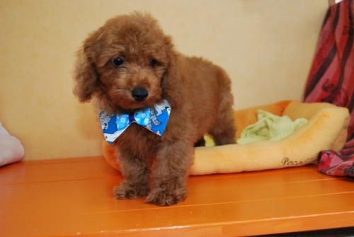 トイプードルの子犬(ID:1241311252)の2枚目の写真/更新日:2017-07-31