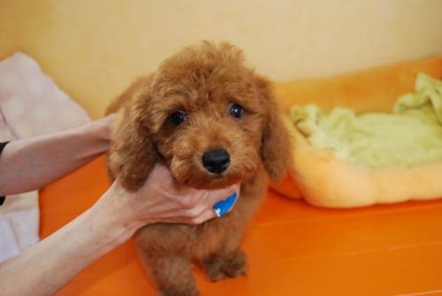 トイプードルの子犬(ID:1241311252)の3枚目の写真/更新日:2017-07-31