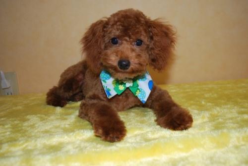トイプードルの子犬(ID:1241311253)の1枚目の写真/更新日:2017-06-27