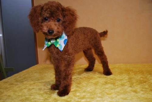 トイプードルの子犬(ID:1241311253)の3枚目の写真/更新日:2017-10-10