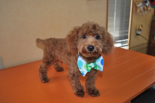 トイプードルの子犬(ID:1241311254)の3枚目の写真/更新日:2017-07-31