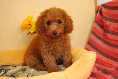 トイプードルの子犬(ID:1241311255)の1枚目の写真/更新日:2017-08-08