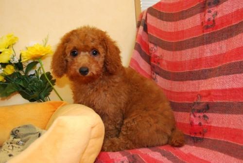 トイプードルの子犬(ID:1241311255)の2枚目の写真/更新日:2017-08-08