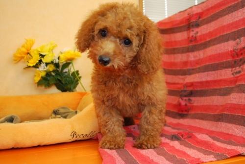 トイプードルの子犬(ID:1241311255)の3枚目の写真/更新日:2017-08-08