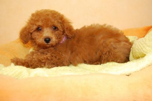 トイプードルの子犬(ID:1241311256)の2枚目の写真/更新日:2017-07-31