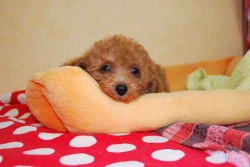 トイプードルの子犬(ID:1241311256)の3枚目の写真/更新日:2017-07-31