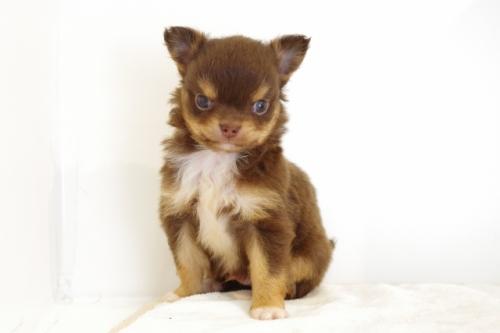 チワワ(ロング)の子犬(ID:1241311257)の1枚目の写真/更新日:2017-06-27