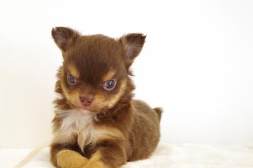 チワワ(ロング)の子犬(ID:1241311257)の2枚目の写真/更新日:2017-06-27