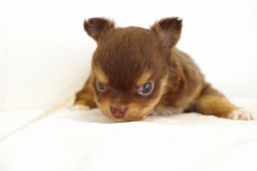 チワワ(ロング)の子犬(ID:1241311257)の3枚目の写真/更新日:2017-06-27