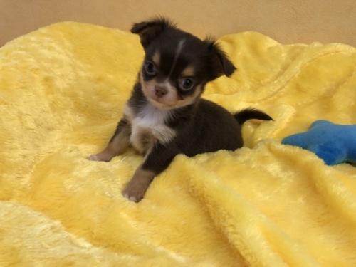チワワ(ロング)の子犬(ID:1241311258)の2枚目の写真/更新日:2017-11-07